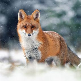 Red fox by Matej Vranič - Animals Other Mammals ( look, winter, cold, vulpes vulpes, snow, snowing, red fox )