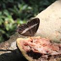 Medus brown