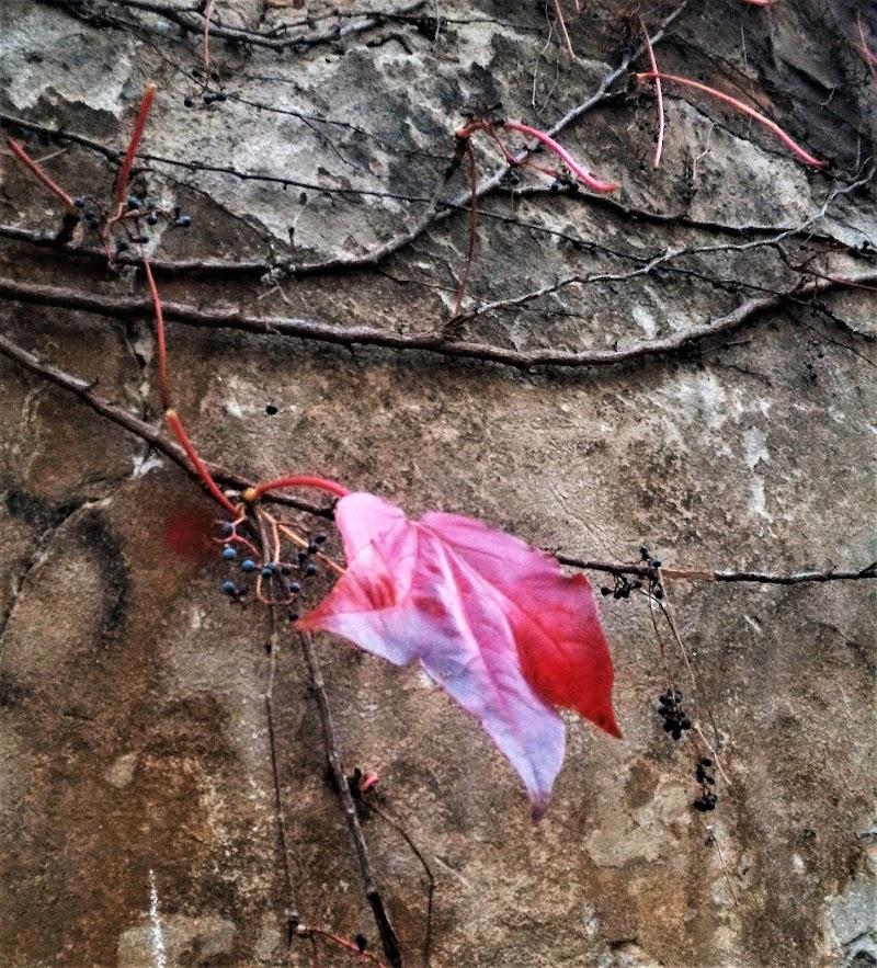 Foglia rossa di VeraWilma