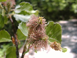 Photo: fiori femminili di Faggio,(Beech) e fiore maschile (a destra in basso), alla Fonte