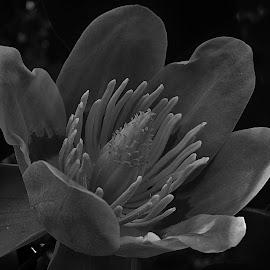 Black & White Tulip Poplar by Matthew Beziat - Black & White Flowers & Plants ( spring flowers, baltimore & annapolis trail, tulip poplar, flowering trees, yellow poplar, liriodendron tulipifera, tulip tree, b&a trail,  )