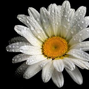 by Joško Šimic - Flowers Single Flower (  )