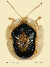Photo: Microtenochira nigrocincta, 5,5mm, Costa Rica, Esquinas Rainforest (08°42´/-83°12´), leg. Erwin Holzer, det. Lech Borowiec