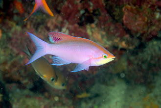 Photo: Purple Anthias male - Pseudanthias tuka