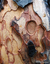 Photo: More p. pine bark art. Black Butte Burn.