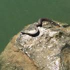 Lake Erie Water Snake
