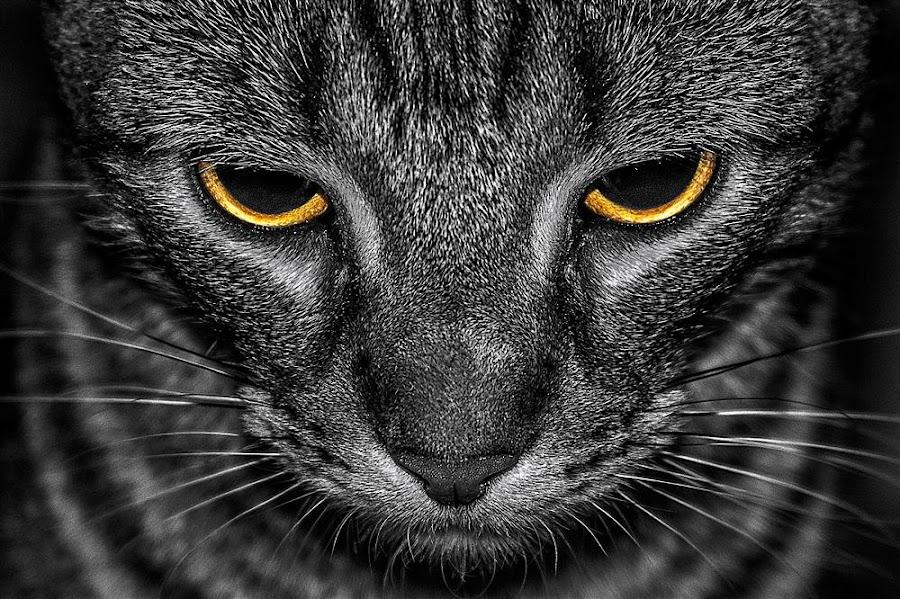 Sad Cat by Awais Khalid - Animals - Cats Portraits ( cat, macro, portrait, black, animal, pwc84 )