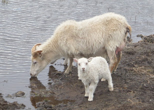 Photo: A sheep usually has two lambs in the spring.  Both male and female adults have horns but the female's are much smaller.