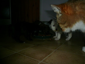 "Photo: ""What, are you coming to eat as well?"" Bantam Shepherd´s Regina Spektor asking Elvis The Cat if he is going to eat. Bantam Shepherd´s Robbie W and Bantam Shepherd´s Rihanna just eating."