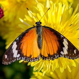 Butterfly on Guldaudi flower chrysanthemum by Basant Malviya - Animals Insects & Spiders ( chrysanthemum flower colors, picture of a chrysanthemum flower, parts of a chrysanthemum flower,  )