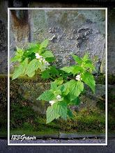 Photo: Lamier blanc, Lamium album