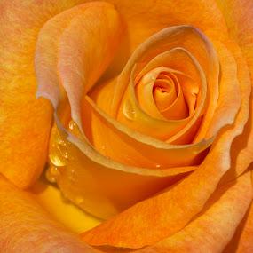 Morning Dew by Janet Marsh - Flowers Single Flower ( center, rose, dew, yellow,  )