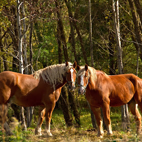 Sunshine On Our Shoulders by Reva Fuhrman - Animals Horses ( horses field woods summer golden content,  )