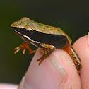Warszewitschs frog