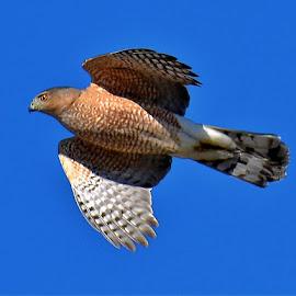 Cooper Hawk in flight by Bill Martin - Animals Birds ( eye, flight, raptor, beak, nature, wings, action, hawk,  )