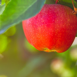 An Apple for the Teacher by Earl Heister - Food & Drink Fruits & Vegetables ( apple, fruit, nature up close, apples, nature close up )