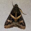 Indomitable Melipotis moth