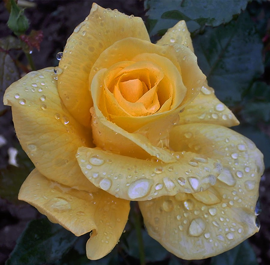Žuta ruža, stvarno se nauživala kišnih kapi. by Katica Pecigoš-Kljuković - Flowers Single Flower ( vodoskok )