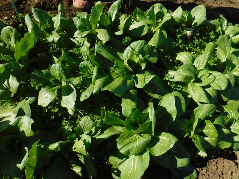 チンゲン菜、よく育って味わい深いです。チンゲン菜とタアサイは、どちらも80㎝の畝×2mを2本作っていますが、チンゲン菜の方5倍くらい収穫できます。寒さに強いのは、ロゼット型(地面に広がる)タアサイです。タアサイは1月2月出荷用に残しています。