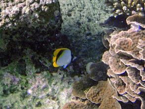 Photo: Chaetodon lineolatus (Lined Butterflyfish), Naigani Island, Fiji