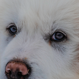 Maremma / Great Parents Pup by Denise Johnson - Animals - Dogs Puppies ( maremma sheepdog, puppie, winter, puppy portrait, portrait, sheepdog, photograph, white, puppy, snow, livestock, maremma / great parents pup, photographer, pups, great pyrenees, dog, photography, pet,  )