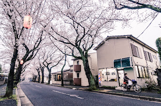 Photo: A lady passes by on bike beneath a row of Cherry Blossoms in Chiba Prefecure, Japan