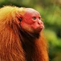 Red Bald-headed Uacari