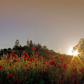 Red poppies by Branko Balaško - Nature Up Close Other plants ( red, church, colors, sunset, poppies,  )