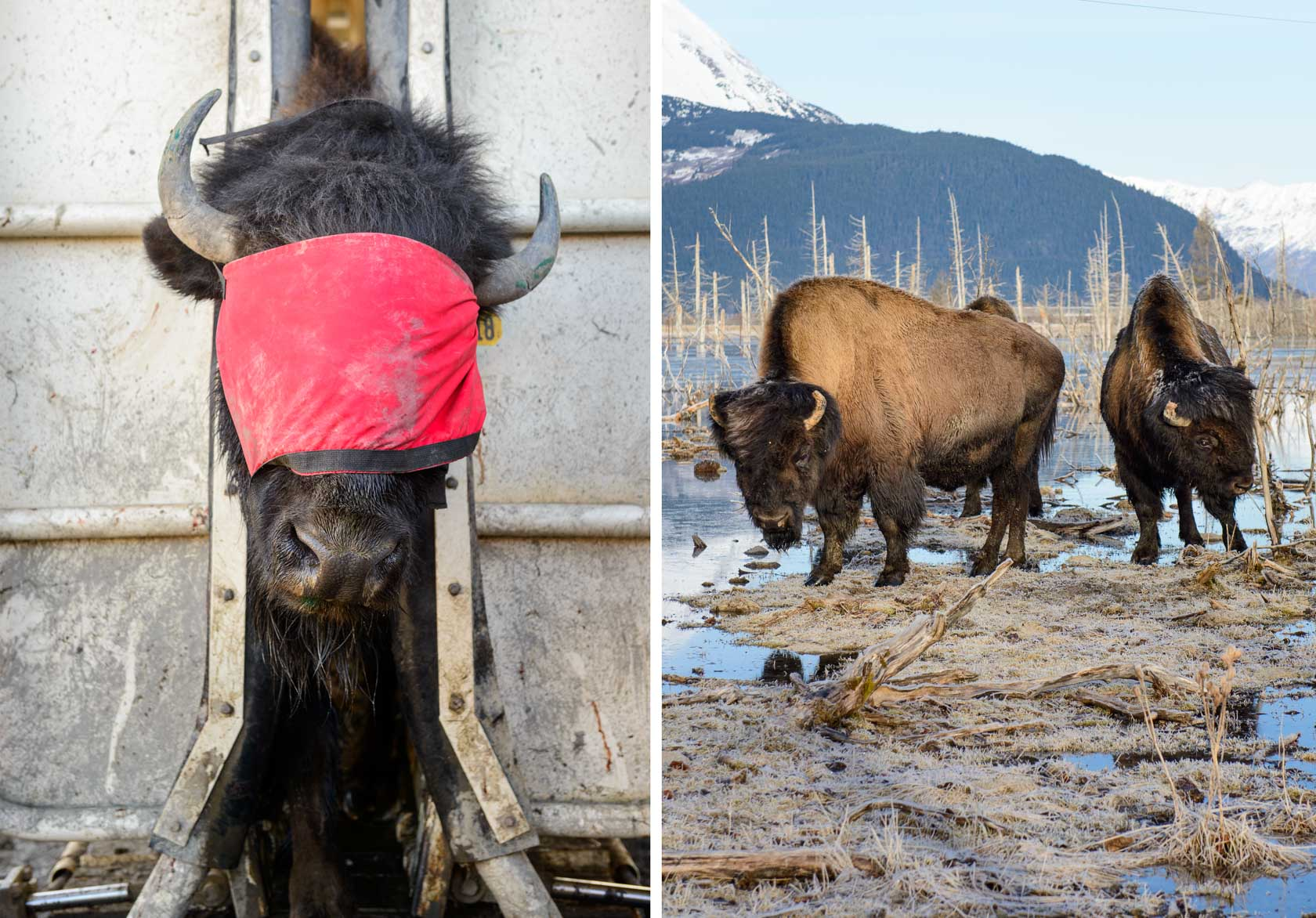Alaska Wood Bison, For Sunset Magazine