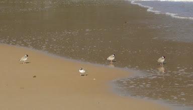 Photo: Little Terns...