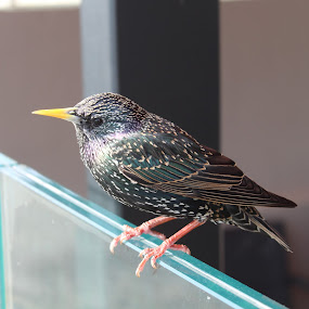 Sitting Pretty by Morgan Bardon - Animals Birds ( spring, starling, bray, bird, ireland )