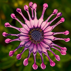 Purple Arms by Robbie Aspeling - Nature Up Close Flowers - 2011-2013 ( purple, daisy, arms, flower,  )