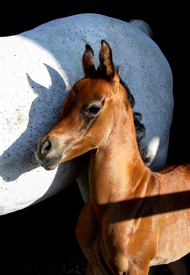 Marians Foal by Nancy Tubb - Animals Horses ( mare, equine, horses, mare and foal, arabian )
