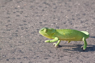 Photo: Kruger NP - Chameleon