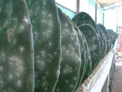 Cochineal Farming | RM.