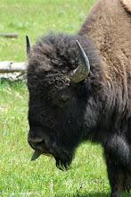 Photo: Bison
