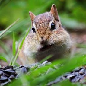 Chipmunk Fill-Up by Jeff Galbraith - Animals Other Mammals ( furry, chipmunk, eating, sunflower, seeds, cute, rodent, cheeks, close-up, mammal, animal )