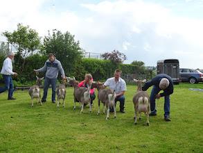 Photo: Eenjarige toggenburger geiten. Suzanne 40, Suzanne 37, Nicolette, Nikki, Zwaanheuvel Anke 34.