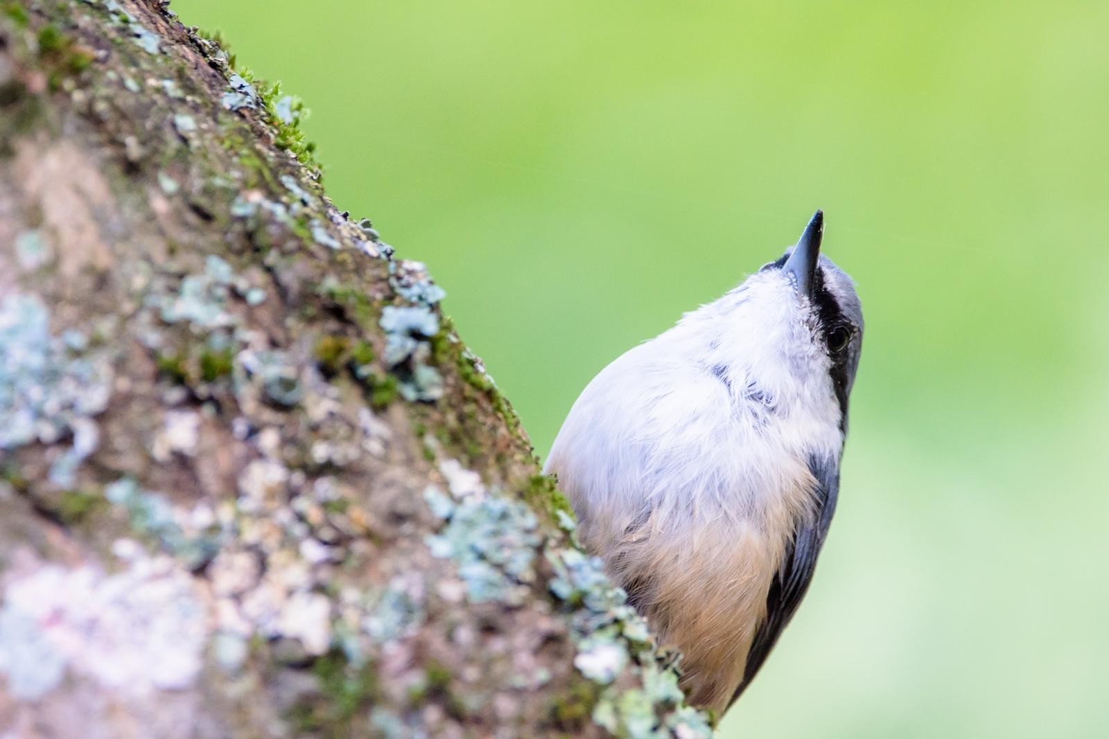 Photo: のんびり屋 An easygoing.  木の幹を 登ったり下ったり ぼ~っとしたり まわりも気にせず のんびりゆっくり  Eurasian nuthatch. (ゴジュウカラ)  #birdphotography #birds #cooljapan #kawaii #nikon #sigma  Nikon D7200 SIGMA 150-600mm F5-6.3 DG OS HSM Contemporary