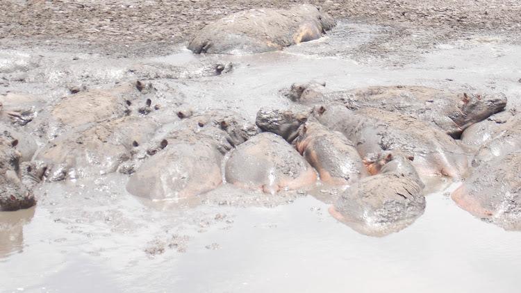 A herd of hippos stuck in the mud due to diminishing water levels at Lake Kenyatta in Mpeketoni, Lamu West.