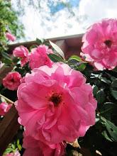 Photo: Pink roses under a bright sky at Wegerzyn Gardens in Dayton, Ohio.