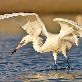 { Egret Fishing }  by Jeffrey Lee - Animals Birds ( wings spread egret fishing, egret fishing in water, white egret, egret,  )