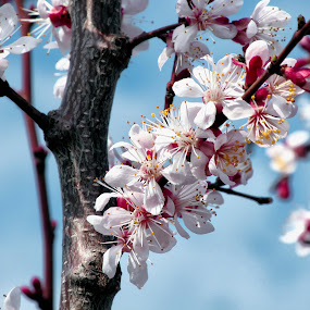 Spring is here by Michael Krivoshey - Flowers Tree Blossoms ( red, colorful, color, white, apricot, spring, blossom,  )