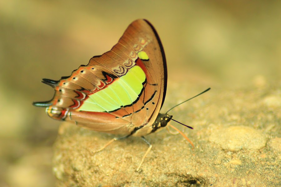 Butterfly by Sid Yadav - Animals Insects & Spiders ( butterfly, canon 600d, tamron 70-300mm, common nawab butterfly, brown, insects )