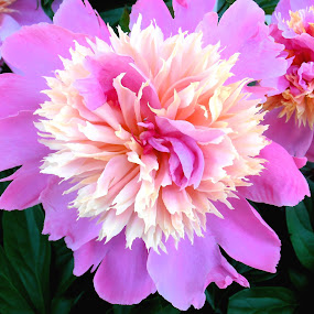 Peonies by Snezana Petrovic - Nature Up Close Flowers - 2011-2013 ( macro, nature, petals, colorful, green, beiege, pink, flowers, leaves, garden, spring, peonies,  )