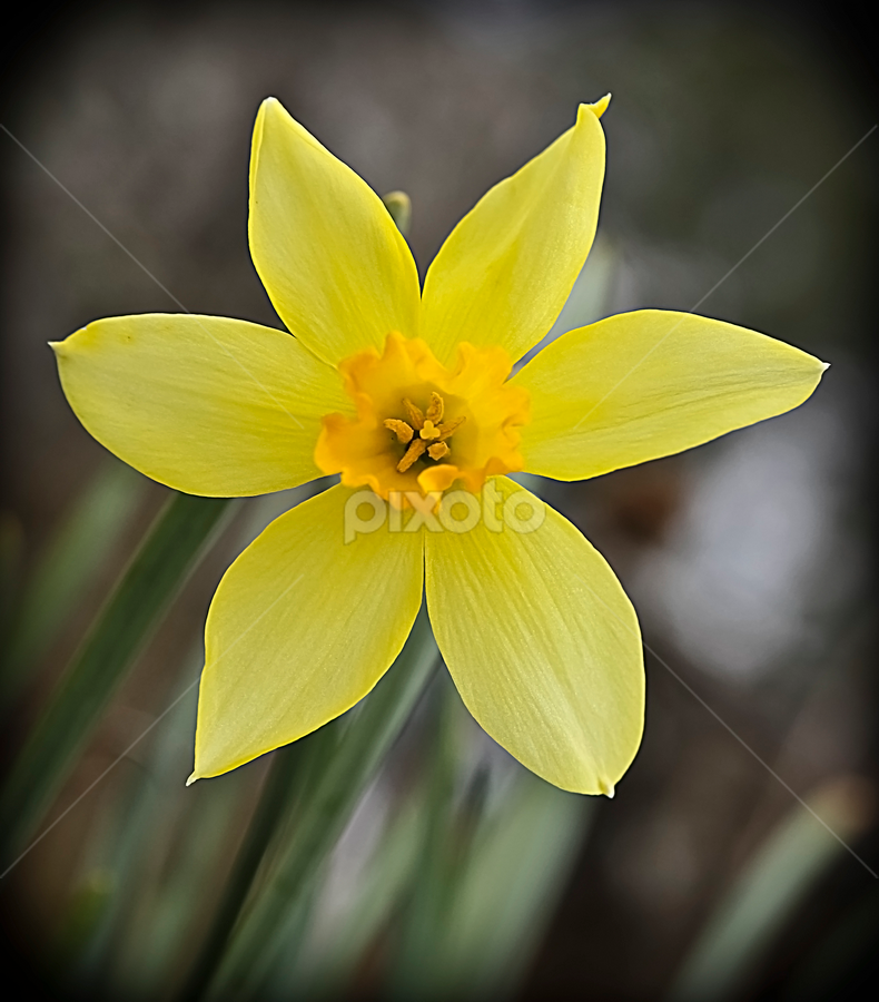 Single Beauty by Susan Farris - Nature Up Close Flowers - 2011-2013 ( daffodil, yellow, beauty, spring, flower, world_is_yellow,  )