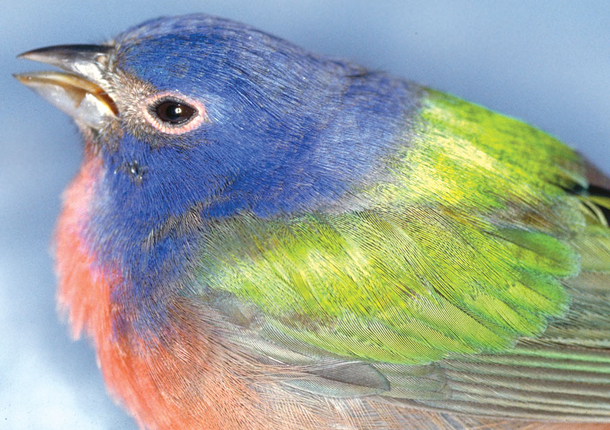 A painted bunting with profound stupor due to pesticide toxicosis