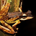 Dark-eared tree frog