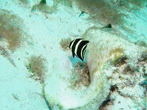 Photo: Juvenile French Angelfish