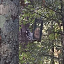 Possibly female downy woodpecker